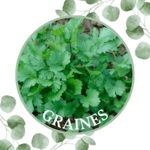 Coriandre – Coriandrumn sativum
