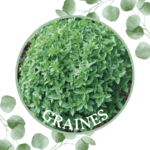 Basilic – Grec