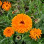Souci – Calendula officinalis
