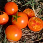 Tomate cerise – Isis Candy Cherry