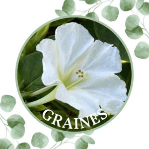 Belle de nuit – Fleurs blanches