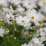 Cosmos – Blanc Pur