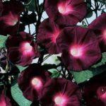 Ipomée – Knowlian Black