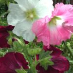 Rose trémière – Mélange de couleurs